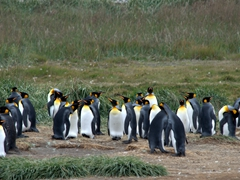 King penguins of Tierra del Fuego - the only King Penguin colony outside of the Sub-Antarctic islands