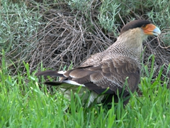 Southern crested caracara; Lake Pehoe