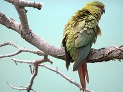 Austral parakeet; Lake Pehoe