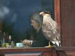 A Southern crested caracara watches diners eat; Lago Pehoe Camping restaurant