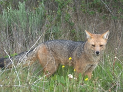 An Andean fox searches for food; Lake Pehoe