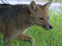 Andean fox; Lake Pehoe