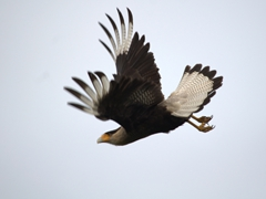 Southern crested caracara in flight