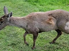 Close up of an endangered huemul deer