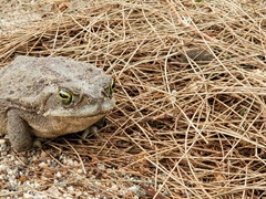 A fat toad by our tent; Camping Luz y Fuerza in Cafayate
