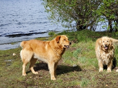 Camping Petunias guard dogs