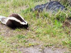 Skunk searching for food; Chorillo del Salto