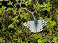 Butterfly; El Chalten