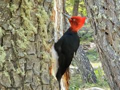 Magellanic woodpecker; Fitz Roy trail in El Chalten