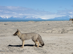 Patagonian foxes by the roadside on our drive to El Calafate