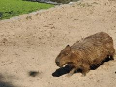 Capybara; Buenos Aires Ecopark