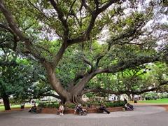 Massive tree; Plaza Vicente Lopez