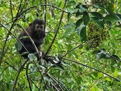 Capuchin monkey; Iguazu