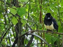 Plush-crested jay; Iguazu
