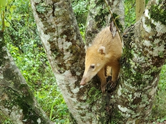 Coati in a tree; Iguazu Falls