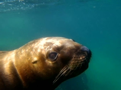 The juvenile sealions were the most playful and curious; Valdes Peninsula