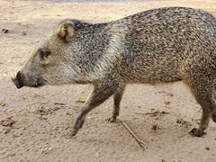 Peccary pig