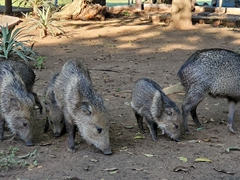 A squadron of peccary pigs searches for food at our pousada in the Pantanal
