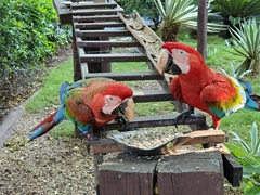 Scarlet macaws having breakfast; Pantanal Pousada Santa Clara