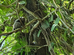 Marmoset monkey at Sugarloaf Mountain