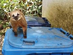 Cheeky coati looking for food; Teresopolis