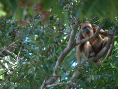 Howler monkey checking us out in the Pantanal