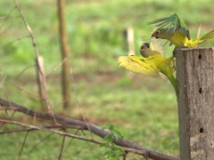 Peach-fronted parakeets fighting over a fence post; Bonito