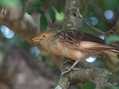 Guira cuckoo; Bonito