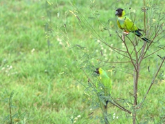 Black-hooded parakeets perched on a tree in the Pantanal