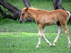 Foal at our lodging in the Pantanal