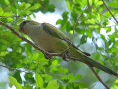 Monk parakeet; Pantanal
