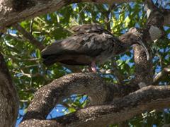 Plumbeous ibis in a tree; Pantanal