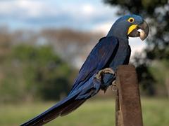 Hyacinth macaw munching on a palm nut
