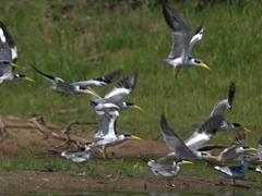 Large-billed terns taking off in flight; Pantanal
