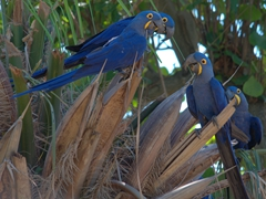 Hyacinth macaws in a palm tree; Pantanal