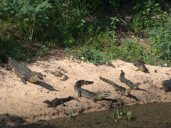 Caimans sunning themselves in the Pantanal