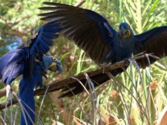 A pair of excited hyacinth macaws; Pantanal