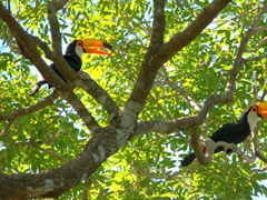 A pair of toco toucans high up in a tree; Pantanal