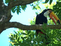 A toucan poses for the camera