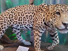 Jaguar; Museo departamental Alexandre-Franconie