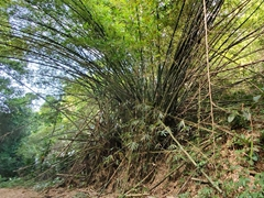 An explosion of bamboo; Sentier du Rorota
