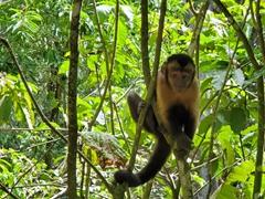 Capuchin monkey; Ile Royale