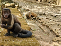 Capuchin monkeys are a common sight on Ile Royale