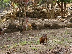 Agoutis roam free on Ile Royale