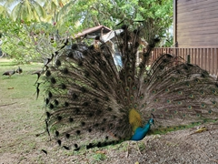 A peacock shows off his plumage; Ile Royale