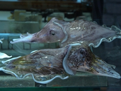 Glass cuttlefish for sale; Murano