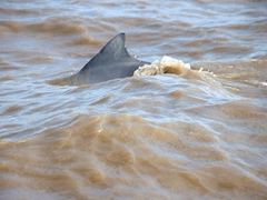 Spotting the elusive sotalia (Guiana dolphin)