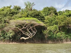 Beautiful tree growing out over Rupununi River