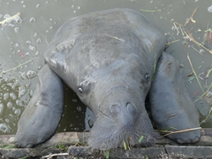 Manatee using its flippers to reach the grass; Georgetown