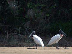 A pair of jabiru storks